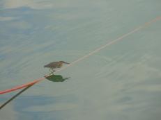 Bird preying on the fish