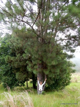 Pinus Occidentalis: Pine endemic to the island